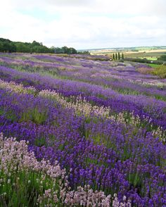 See and smell the lavender fields in shades of amethyst, indigo, and white at Yorkshire Lavender in Terrington, England. Find out more information and see other incredible flower fields now.