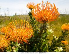 Find Orange Pin Cushion Protea Native Flower stock images in HD and millions of other royalty-free stock photos, illustrations and vectors in the Shutterstock collection. Thousands of new, high-quality pictures added every day. South African Flowers, Year 2, Colour Inspiration, Wildflowers, Pin Cushions, Nature Photos, Proposal, Nativity, Photo Editing