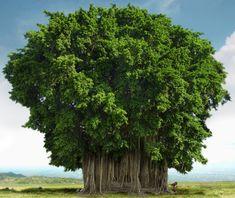 L'arbre de Bayan est le plus grand arbre de l'Inde, dont il est l'arbre national. Celui-ci est vieux de 250 ans et il est situé à Calcutta.