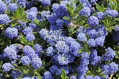 Types of California Lilac & where to plant them in a garden