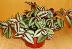 The Wandering Jew, Inch Plant or Tradescantia is a house plant that can be grown in a hanging basket to show off its long beautiful trailing vines, or kept contained and compact in a pot. Very versatile, very easy and very hard to kill, makes this a very good indoor plant to have around.