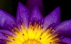 Complementair contrast, Gejat van Anne  omdat het een prachtige foto is vooral de waterdruppels maken het geel en paars nog mooier geel en paars zijn complementair aan elkaar
