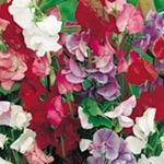 Sweet Pea Seeds - Jet Set Mix: Shades of scarlet, crimson, blue, salmon, cerise and mauve. Four or five large flowers on long stems. Sweet Pea Seeds, Sutton Seeds, Planting Plan, Garden Shop, Large Flowers, Flower Seeds, Garden Supplies, Colour Schemes, Garden Styles