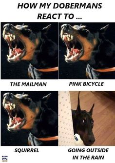 The Doberman Pinscher is among the most popular breed of dogs in the world. Known for its intelligence and loyalty, the Pinscher is both a police- favorite I Love Dogs, Cute Dogs, Awesome Dogs, Black And Tan Terrier, Doberman Pinscher Puppy, Doberman Puppies, Corgi Puppies, Doberman Love, Doberman Funny