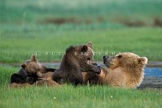 Alaskan Brown Bear Cubs  by Suzi Eszterhas