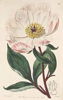 96793 Paeonia lactiflora Pallas [as Paeonia albiflora Pallas]  / Botanical…