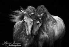 Two Andalusian Stallions  Fine Art Horse Photograph  Horse
