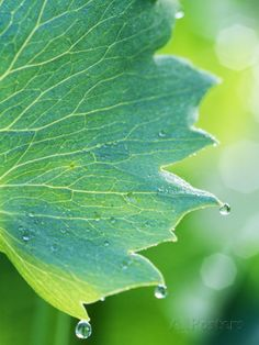 Water Droplets on Leaf - Fotografiskt tryck av Lynn Keddie på AllPosters.se