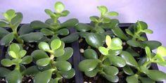 Existen una gran cantidad de plantas en todo el mundo, pero en este artículo nos enfocaremos a mencionarte de una planta que atrae la suerte.