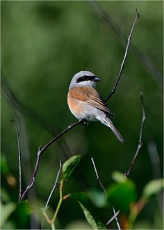 Red-backed Shrike by Konstantin Egorov on 500px
