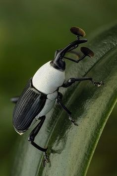 ˚Black and White Weevil by andre de kesel @ flickr with metal detectors heading for the beach