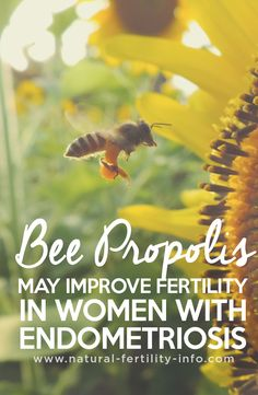Women with endometriosis who have beenunable to get pregnant may have a more successful outcome by taking bee propolis, according to a preliminary study in Fertility and Sterility (2003;80:S32). This is encouraging for the millions of women with endometriosis who are suffering from infertility.  Women taking bee propolis had a significantly higher pregnancy rate (60%) than those taking the placebo (20%). No adverse effects were reported by the women taking bee propolis.