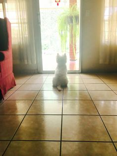 Westie waiting for his mom and dad!