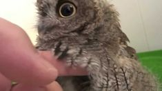 """""""Screech Owl having a bath and then being dried"""" by kuu owl // A must-watch for everyone who loves owls. :)"""