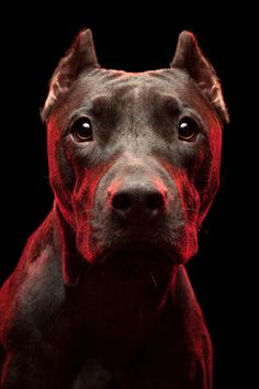 Showed my female pit bull this pic and she kept starring at him... Beautiful pit!