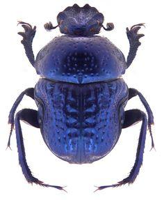 Gymnopleurus cyaneus (Dung beetle)