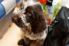 spinone italiano. looks like Liz when she was a puppy!