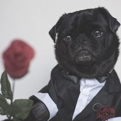 A rose for all the lady pugs on Valentine's Day. With love Ref