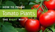 How to prune a tomato plant