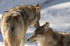 Kuvahaun tulos haulle suden pesä Wolf Love, Strong Family, Beautiful Creatures, Fox, Animals, Aesthetics, Wolves, Animales, Animaux