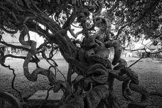 Twisted tree - Killing Fields Cambodia