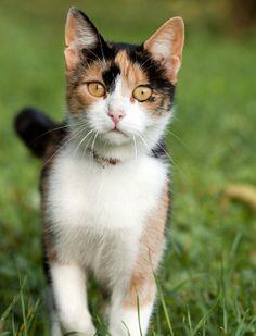 A három színű macskákat vidéken mind közül a legjobb macskának tartják, mert úgy gondolják, hihetetlenül eszes és fürge gondolkodású, ennek megfelelően a rágcsálók irtására is őt tartják a legmegfelelőbbnek. Azt mondják, a trikolor cicák szinte képesek kifürkészni az ember gondolatait, és mintha cselekedeteikkel is ezekre reagálnának. Általában időre van szükségük ahhoz, hogy elfogadjanak valakit, ez után azonban igazi jó barát lehet belőlük.