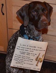 GSP German Shorthaired Pointer Shame - Oliver in trouble for stealing chicken wings off the kitchen counter
