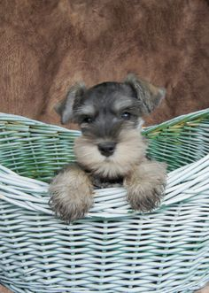 Salt and Pepper Miniature Schnauzer puppy just too adorable✨✨