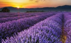 Sunrise on the Lavender Fields in Valensole in Provence, France