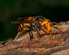Asian Hornet - Macro Photography: The World's Deadliest Insects    Call A1 Bee Specialists in Bloomfield Hills, MI today at (248) 467-4849 to schedule an appointment if you've got a stinging insect problem around your house or place of business! You can also visit www.a1beespecialists.com!