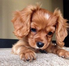 so so cute Cute Puppies, Cute Little Animals, Cute Funny Animals, Best Dog Breeds, Best Dogs, I Love Dogs, All Dogs, Beautiful Dogs, Animals Beautiful