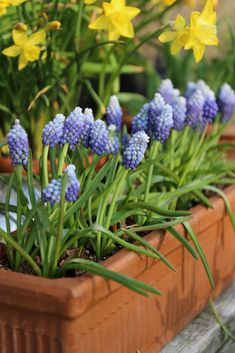 This extra special muscari is named Ocean Magic. It delivers a wave of beautiful blue hues: cobalt below, blue-bird in the middle and a sparkle of lavender-blue on top. Plant the bulbs now in gardens or containers. Blue And Purple Flowers, Love Flowers, Spring Flowers, Beautiful Flowers, Lavender Blue, Colorful Flowers, Dubai Miracle Garden, Flower Pot Design, Olive Garden