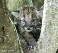 Endangered Florida panther (Puma concolor coryi)