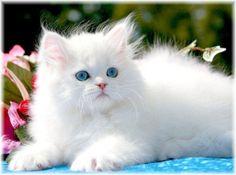 Beautiful white & blue eyed Persian kitten <3 WANT