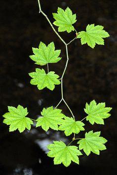 Leaves by Vesuvianite Green Leaves, Plant Leaves, Vine Leaves, Maple Leaves, Cactus E Suculentas, Green Nature, Leaf Art, Green Plants, Ikebana
