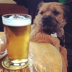 'Cheers Dad'- Border Terrier Dog having a Pint Border Terrier Puppy, Terrier Dogs, Terriers, Cute Puppies, Cute Dogs, Dogs And Puppies, Doggies, Best Dog Breeds, Best Dogs