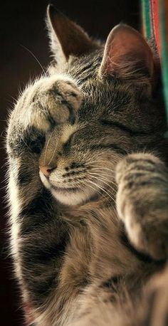 Do Not Disturb ! ZoranPhoto on DeviantArt cats kitty kitten animal pet fur fluff. - Do Not Disturb ! ZoranPhoto on DeviantArt cats kitty kitten animal pet fur fluff… Do Not Disturb ! ZoranPhoto on DeviantArt cats kitty kitten animal pet fur fluffy cute Cute Funny Animals, Cute Baby Animals, Animals And Pets, Funny Cats, Cute Cats And Kittens, Cool Cats, Kittens Cutest, Beautiful Cats, Animals Beautiful