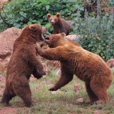 #osos #cabarceno #nature #combate