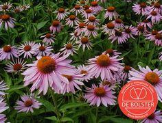 Biologische rode zonnehoed is een sterke geneeskrachtige plant. Geschikt als snijbloem. Heeft graag een zonnige plek en voedzame grond. Online verkrijgbaar bij De Bolster