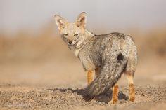 ...zorro chilla Wild Animals, Animals And Pets, Foxes Photography, Wild Life, Pet Birds, Tattos, Patagonia, Kangaroo, Army