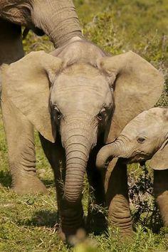 Elephant Gif, Happy Elephant, Cute Baby Elephant, African Elephant, Elephant Videos, Baby Hippo, Elephant Theme, Baby Elephants, Nature Animals