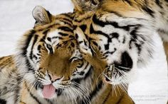 Two large tigers nuzzling heads.