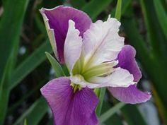 Listing of Louisiana Iris products Iris Flowers, Water Flowers, Colorful Flowers, Planting Flowers, Garden Art, Garden Plants, Louisiana Iris, Bloom, Fairy Gardens