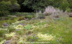 Spring meadow garden with wildflowers and dry creek as rain garden, bioswale, Menzies California native plant garden