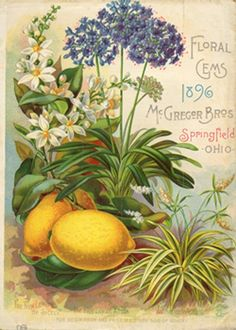 Back cover of McGregor Bros 'Floral Gems For with an illustration of 'The New Lemon of Sicely, The Blue Lily of Africa and Authericum Vitatum. Posters Vintage, Images Vintage, Art Vintage, Vintage Labels, Vintage Pictures, Vintage Postcards, Printable Vintage, Vintage Cards, Vintage Prints