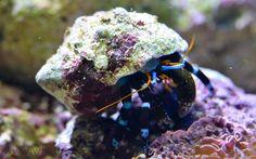 Calcinus elegans | Calcinus elegans (en) Electric Blue Hermit Crab, Blue Knuckle Hermit ...