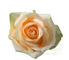 rose-peach-avalanche-large.jpg (560×486)