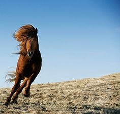 Icelandic horse running in a field