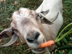 Funny-Carrot-Vitamins-For-Animals-5