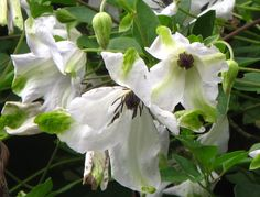 Clematis viticella Alba Luxurians. Makes me think of grandma's hankies. Definitely going to plant this one again.